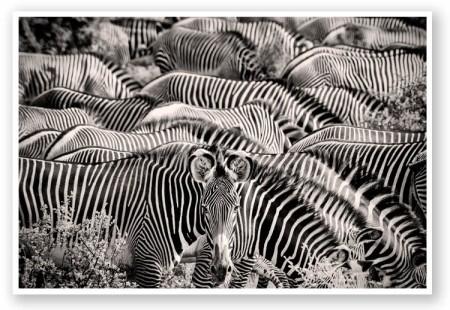 zebra grid