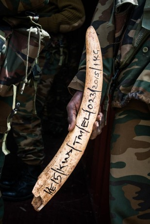 A KWS ranger holds a tusk as it gets put into the inventory.
